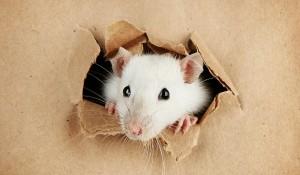 rat-entering-apartment2